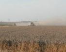 Agritel: співвідношення продовольчої та фуражної пшениці становитиме 45 до 55%