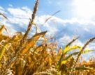 На Черкащині середня врожайність ранніх зернових та зернобобових вища минулорічної