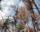 10 тисяч гектарів лісу Чернігівщини під загрозою короїда