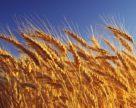 Украина в этом сезоне сможет экспортировать не более 8 млн тонн пшеницы