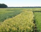 Сортооновлення – запорука зростання врожайності