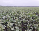 Українські аграрії завершили сівбу озимого ріпаку