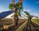 Агрокомплекс «Зелена долина» планує виробляти біоетанол