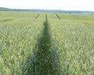 В Евросоюзе фермеры расширяют сев пшеницы и ячменя за счет рапса и свеклы