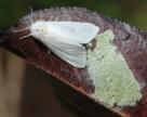 Американський білий метелик – «універсальний» карантинний шкідник плодових, декоративних і лісових культур