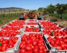 Выращивание томатов: причины плохой всхожести семян, правила питания и полива