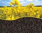 Украинские аграрии посеяли 990 тыс. га озимого рапса под урожай-2019