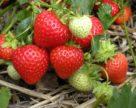 В США вывели новые высокоурожайные сорта земляники и малины