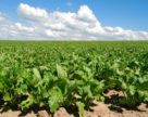 Які  саме гібриди буряків цукрових наразі у попиті у аграріїв