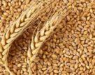 У новому стандарті на пшеницю буде переглянуто кількість класів та методи визначення якості пшениці,