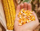 Украина может экспортировать 27 млн тонн кукурузы в сезоне-2018/19