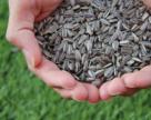 Украинские аграрии могут собрать в этом году около 22 млн т масличных