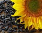 Українські аграрії в нинішньому сезоні можуть зібрати близько 15 млн т соняшнику