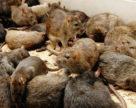 На переважній території країни чисельність мишоподібних гризунів стабілізувалась
