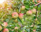 Чому обвалився яблучний ринок в Україні