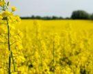 В Украине увеличивается переработка рапса
