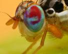 В двох областях було виявлено середземноморську плодову муху