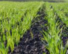Ночные заморозки в Западных областях не повлияли на состояние озимой пшеницы