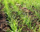 Триває розвиток хвороб на фізіологічно ослаблених посівах