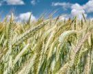 Україна більше ніж удвічі збільшила обсяги експорту жита