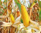 Вирощування кукурудзи в беззмінному посіві. За і проти