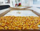 Бельгійським науковцям дозволили робити польові випробовування кукурудзи за CRISPR-технологією