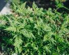 Амброзія полинолиста – зниження врожаю польових культур на 50%