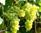 На юге и в центре Украины возможны потери урожая винограда