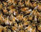 В Україні триває пошук механізму запобігання отруєння бджіл