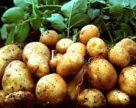 В Минсельхозе прошли совещания по семеноводству и селекции картофеля