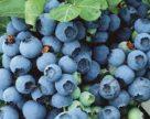 Лохина залишається популярним продуктом серед українських ягідників