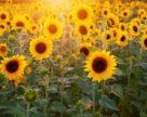 В Украине впервые подсолнечник уступит позиции пшенице