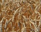 Виявлено новий механізм стійкості пшениці до засолених ґрунтів