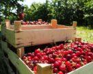 В Україні очікується рекордний врожай черешні