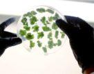 Міністри сільського господарства ЄС прагнуть переглянути закон про генну інженерію