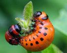 РНК-інтерференція для контролю чисельності колорадського жука