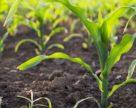 У Польщі морози пошкодили посіви кукурудзи