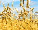 ЄБА просить ввести новий ДСТУ на пшеницю у червні