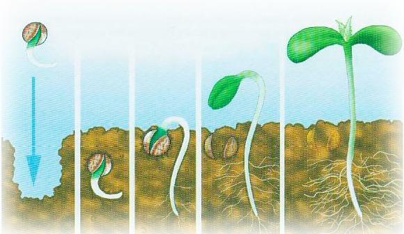 Как лучше посадить семена конопляные как влияет конопля на здоровье человека