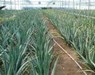 Алое – нова ніша для аграріїв півдня України