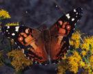 У Києві спостерігається нашестя метеликів-сонцевиків
