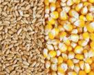 Світове виробництво зернових в 2019 році зросте лише на 1,2%