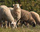 Вівчарство в умовах України може бути прибутковим