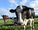 Аби захиститися від низьких закупівельних цін на молоко, селяни створили кооператив