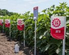 Лімагрейн Україна представила нові гібриди соняшнику