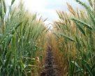 Сучасні сорти пшениці більш стійкі, ніж вважалося раніше