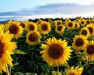 Аномальная жара на Юге Украины уничтожает урожай подсолнечника
