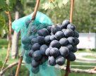 Винороби Одещини намагаються розвивати винний туризм