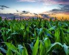 Науковці дослідили, який вид поливу може розкрити потенціал вітчизняних гібридів кукурудзи