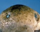 Буру гниль картоплі виявили у Чернігівській області